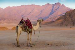 Arabian camel in desert . Sinai. Egypt Stock Photo