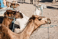 Arabian camel or Dromedary also called a one-humped camel in the Stock Images