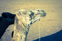 Arabian camel or Dromedary also called a one-humped camel in the Stock Image