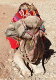 Arabian Camel Royalty Free Stock Photo