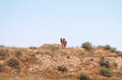 Arabian Camel graze at the Israeli Negev Desert. Stock Photo
