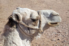 Arabian camel head Stock Images