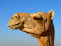 Arabian Camel Head Close-Up Stock Photos