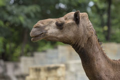 Arabian Camel Head Stock Images