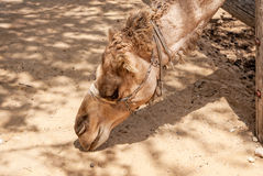 Arabian camel head Stock Photography