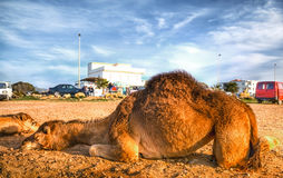 Arabian camel is laying in the sand Royalty Free Stock Image