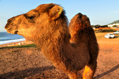 Arabian camel is laying in the sand Stock Images