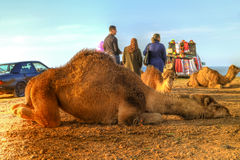 Arabian camel is laying in the sand Royalty Free Stock Photography