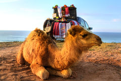 Arabian camel is laying in the sand Royalty Free Stock Images