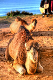 Arabian camel is laying in the sand Stock Photography