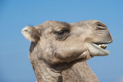 Camel  in Profile Stock Photos