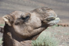 Camel  in Profile Royalty Free Stock Images