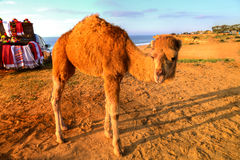 Arabian camel is standing in the sand Stock Image
