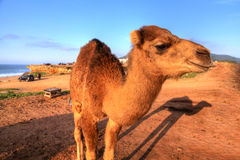 Arabian camel is standing in the sand Royalty Free Stock Images