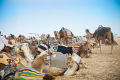Arabian camels or Dromedary also called a one-humped camel in th Stock Images