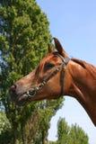 Arabian chestnut Royalty Free Stock Image