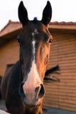 Arabian chestnut horse Royalty Free Stock Photo
