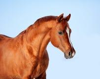 Arabian chestnut horse portrait. At blue sky Royalty Free Stock Photos