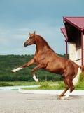 Arabian chestnut stallion rearing Stock Photo