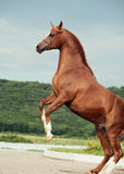 Arabian chestnut stallion rearing. Royalty Free Stock Photography