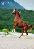 Arabian chestnut stallion rearing. at mountain background Royalty Free Stock Photography