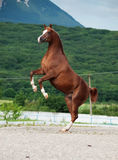 Arabian chestnut stallion rearing. at mountain background Stock Photo