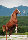 Arabian chestnut stallion rearing. at mountain background Stock Images