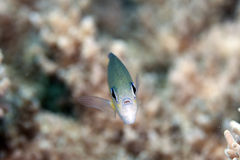 Arabian chromis (chromis flavaxilla) in the Red Sea. Stock Images