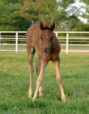 Arabian Colt. Standing out in pasture Stock Photo