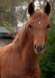 Arabian Colt. Close up portrait Stock Photos