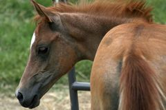 Arabian Colt Stock Photography