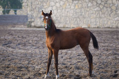 Arabian colt Stock Photos