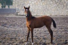 Arabian colt Stock Photos