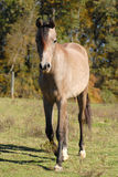 Arabian colt horse Royalty Free Stock Images