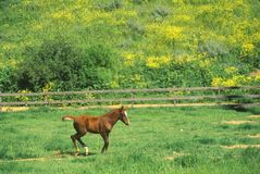 Arabian Colt in Spring field, Ojai, CA Stock Images