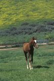 Arabian Colt in Spring field, Ojai, CA Stock Image