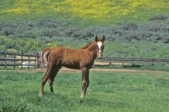Arabian Colt in Spring field, Ojai, CA Stock Images