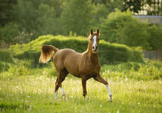 Arabian colt trotting in evening meadow Stock Photo