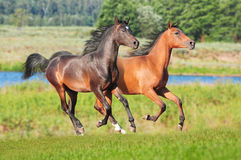 Arabian colts free royalty free stock image