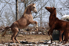 Arabian colts playing. Arabian two year old colts play fighting Royalty Free Stock Image