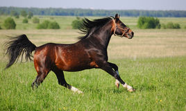 Arabian dapple-chestnut stallion. The arabian stallion gallops on a field Royalty Free Stock Images