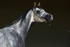 Free Arabian Dapple Gray Mare Portrait Against  Dark Background Stock Images - 159136014
