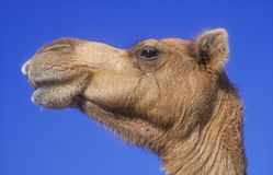 Arabian or Dromedary camel, Camelus dromedarius Stock Photo