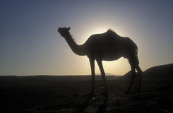 Arabian or Dromedary camel, Camelus dromedarius Royalty Free Stock Photos