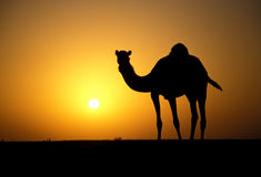 Arabian or Dromedary camel, Camelus dromedarius Stock Photos