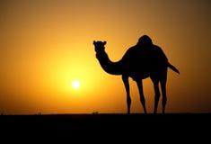 Arabian or Dromedary camel, Camelus dromedarius Stock Photos