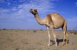 Arabian or Dromedary camel, Camelus dromedarius. Single mammal, Oman Stock Photo