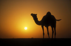 Arabian or Dromedary Camel, Camelus dromedarius Royalty Free Stock Images