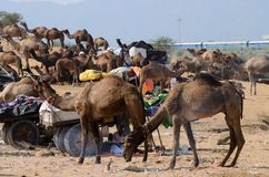 Arabian dromedary camels taking part at famous cattle fair holiday,India Royalty Free Stock Image