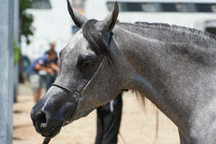 Arabian and Egyptian horse Stock Images